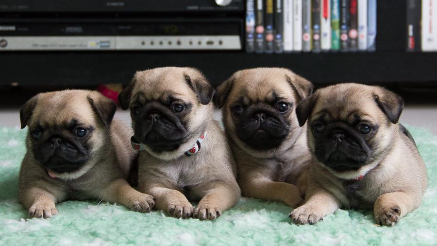 Puppy Colour Pug Health