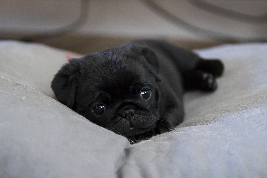 FINDING A PUPPY – Pug Health